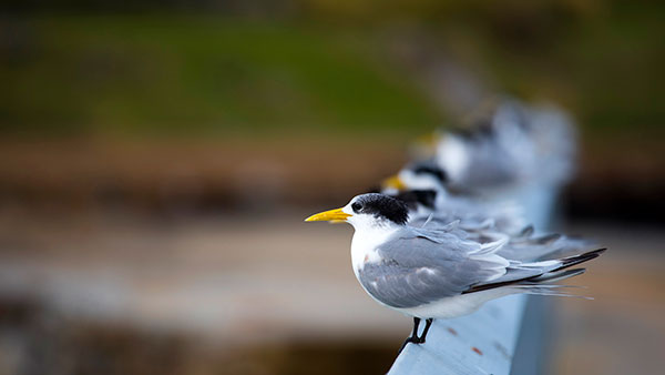 The Crested Tern is the second largest of the terns found in Tasmania and one of the most commonly seen.